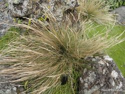 Phil Bendle Collection:Rytidosperma petrosum (Cook Strait bristle grass) Native