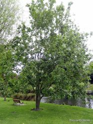 Phil Bendle Collection:Salix aegyptiaca (Musk willow)