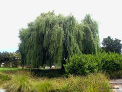Phil Bendle Collection:Salix alba var. vitellina (Golden willow)