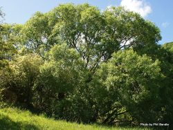 Phil Bendle Collection:Salix fragilis (Crack willow)