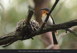 Phil Bendle Collection:Satin flycatcher (Myiagra cyanoleuca)
