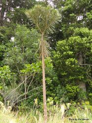 Phil Bendle Collection:Pseudopanax ferox (Savage lancewood)