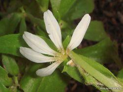 Phil Bendle Collection:Scaevola gracilis (Fan flower)
