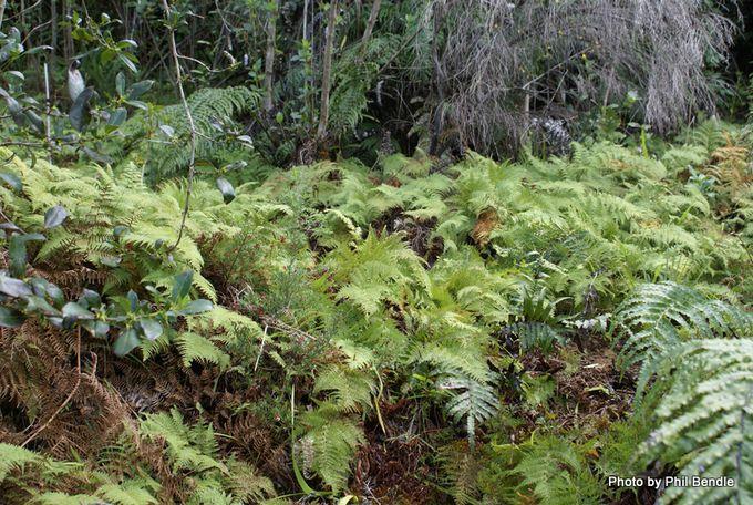Scented fern Paesia scaberula.JPG