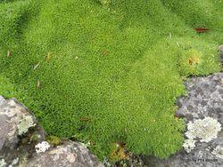 Phil Bendle Collection:Scleranthus biflorus (Cushion Plant)