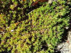 Phil Bendle Collection:Scleranthus brockiei