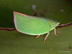 Phil Bendle Collection:Green Planthopper