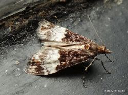 Phil Bendle Collection:Scoparia minusculalis (Grass moth)