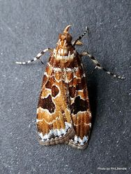 Phil Bendle Collection:Scoparia ustimacula