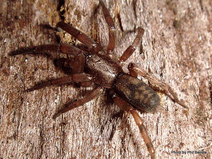 Scotophaeus pretiosus-001.JPG