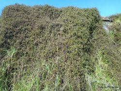 Phil Bendle Collection:Muehlenbeckia complexa (Scrambling pohuehue)