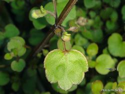 Phil Bendle Collection:Scutellaria novae-zelandiae