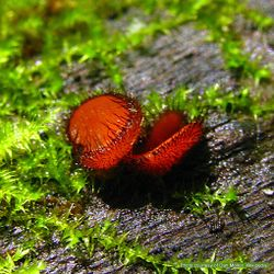 Phil Bendle Collection:Scutellinia scutellata (Eyelash cup fungus)