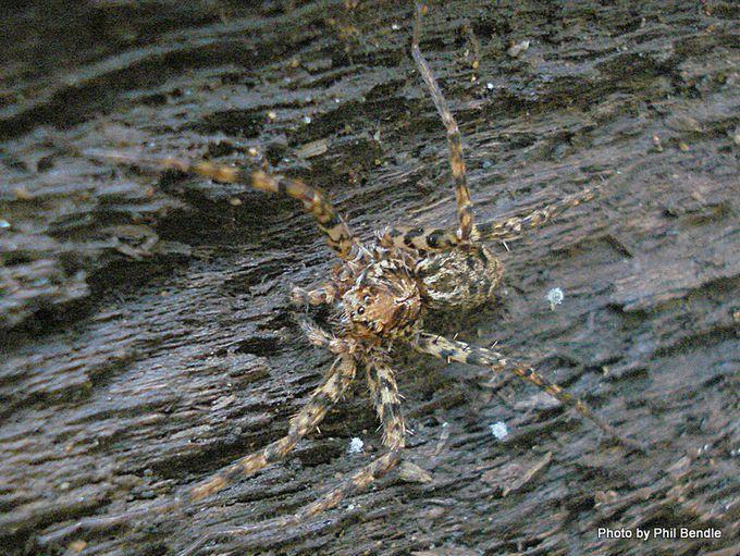 Scuttling spider Cycloctenus spp-1.JPG