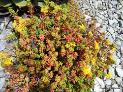 Phil Bendle Collection:Sedum rubrotinctum (Jelly bean plant)