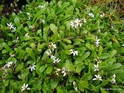 Phil Bendle Collection:Selliera radicans (Remuremu)