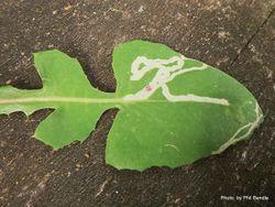 Phil Bendle Collection:Stigmella ogygia (Senecio leaf miner moth)