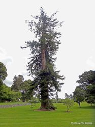Phil Bendle Collection:Sequoia sempervirens (Coast redwood)