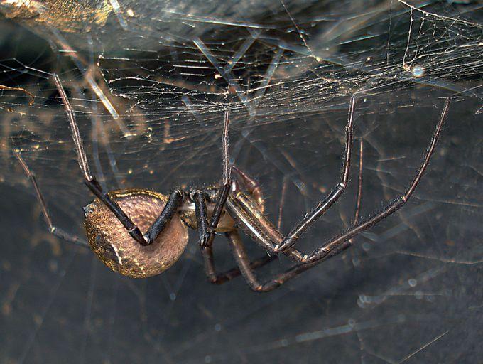 Sheet-web spider Cambridgea spp...JPG