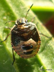 Phil Bendle Collection:Bug (Shield bug 5th instar (Brown shield bug) (Dictyotus caenosus)