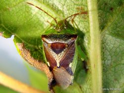 Phil Bendle Collection:Bug (Shield bug) (Forest shield bug) Oncacontias vittatus