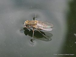 Phil Bendle Collection:Fly (Shore fly) Family Ephydridae