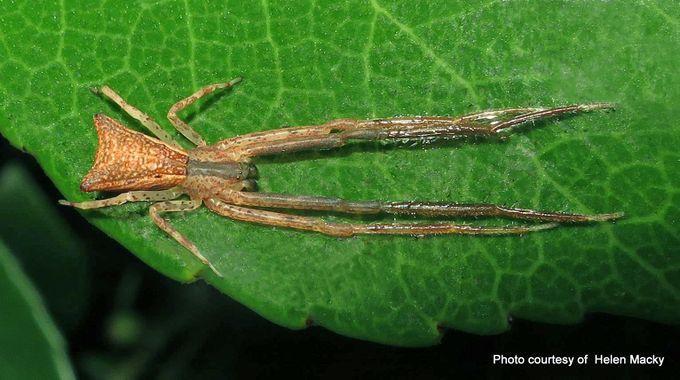Sidymella longipes .jpg