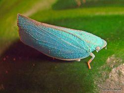 Phil Bendle Collection:Hoppers (Blue Planthopper) Siphanta acuta