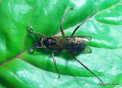 Phil Bendle Collection:Wasp (Sirex woodwasp) Sirex noctilio