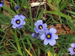 Phil Bendle Collection:Sisyrinchium bermudiana (Blue-eyed grass)