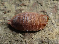 Phil Bendle Collection:Woodlice (Pink colour form) Porcellio Species