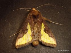 Phil Bendle Collection:Thysanoplusia orichalcea (Slender burnished brass moth)