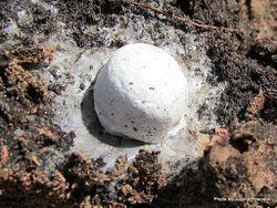 Phil Bendle Collection:Mould (Slime) Enteridium lycoperdon
