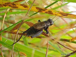 Phil Bendle Collection:Cricket (Small Field ) Bobilla sp