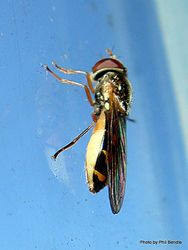 Phil Bendle Collection:Fly (Hover) Small Hover Fly (Melanostoma fasciatum)