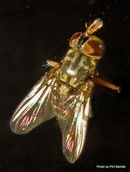 Phil Bendle Collection:Fly (House) Muscidae Species 2