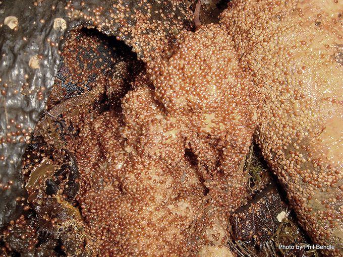 Soil Mites Mesostigmata 1 .JPG