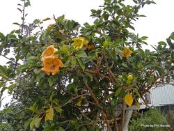 Phil Bendle Collection:Solandra maxima (Golden Chalice Vine)