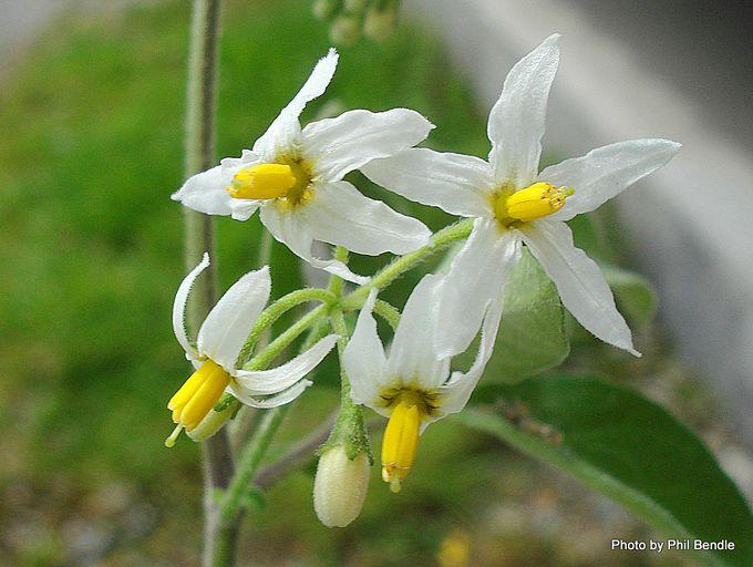 Solanum chenopodioides Velvety Nightshade -001.JPG