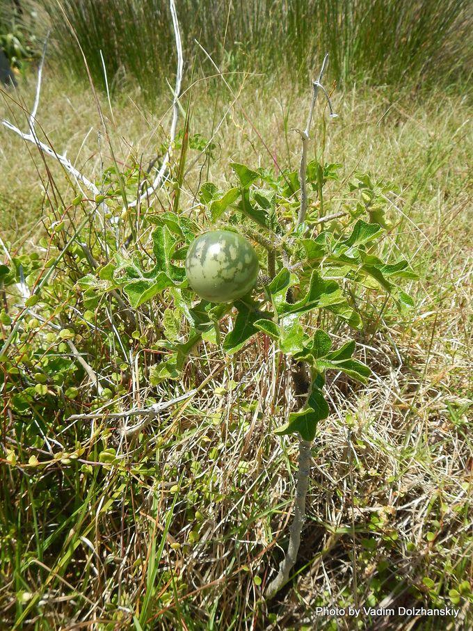 Solanum linnaeanum-003.JPG