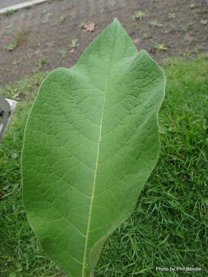 Solanum mauritianum 6 .JPG