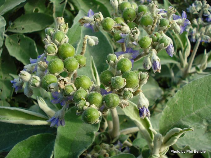Solanum mauritianum Woolly Nightshade-4.JPG