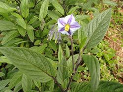 Phil Bendle Collection:Solanum muricatum (Pepino)