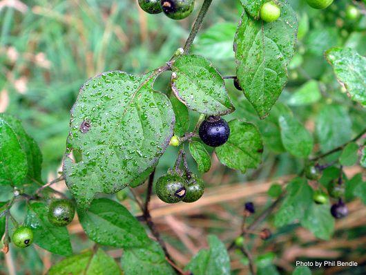 Solanum nigrum-003.JPG