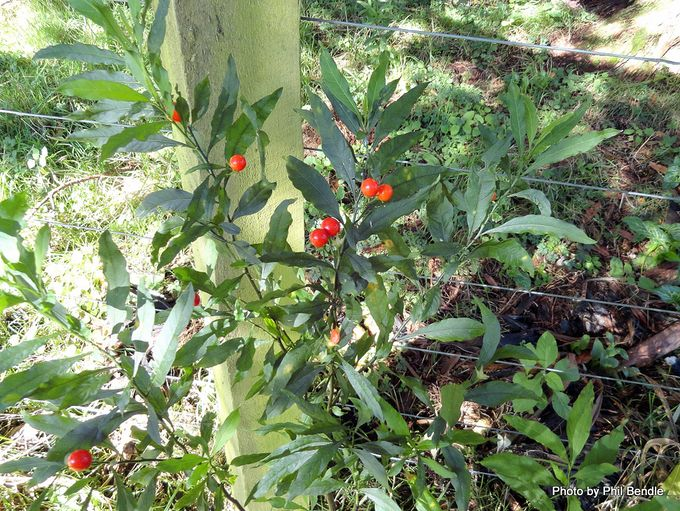 Solanum pseudocapsicum Jerusalem cherry-007.JPG