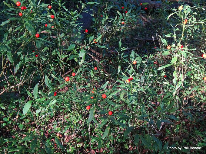 Solanum pseudocapsicum Jerusalem cherry-013.JPG