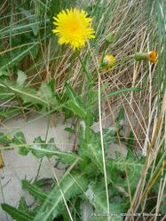 Phil Bendle Collection:Sonchus arvensis (Field sow thistle)