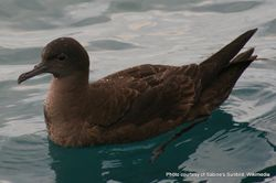 Phil Bendle Collection:Shearwater (Sooty) Ardenna grisea
