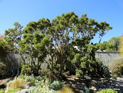 Phil Bendle Collection:Sophora howinsula (Lord Howe Kowhai)