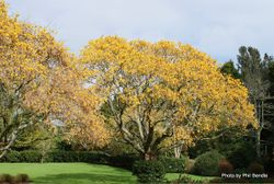 Phil Bendle Collection:Sophora microphylla (Kowhai)